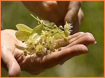 сбор цветков липы, сушка цветков липы