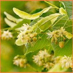 цветки липы полезные свойства